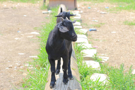 capra: Black domestic goat Capra hircus