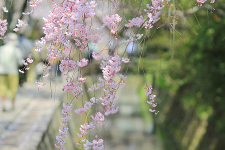 Cherry Blossom at Philosopher s Walk  kyoto photo