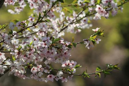 Cherry Blossom at Daigo, kyoto photo