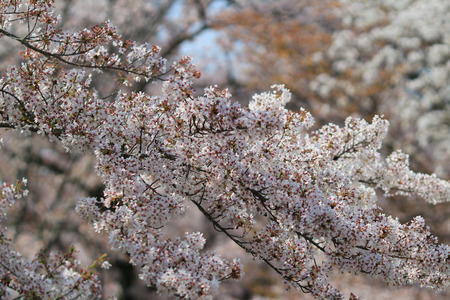 Cherry Blossom at kyoto photo