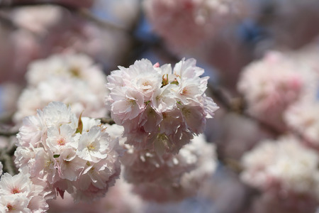 Cherry Blossom at Daigoji Temple kyoto photo