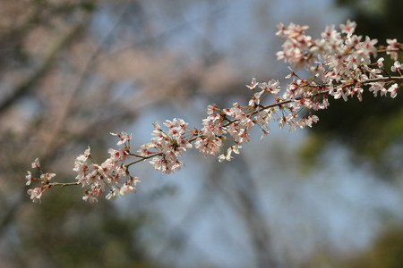 philosopher's: Cherry Blossom at Philosopher s Walk  kyoto
