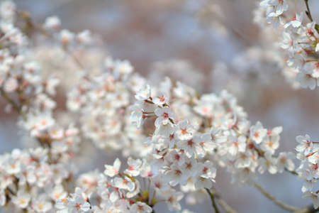 asian gardening: Cherry Blossom at Umahori , kyoto