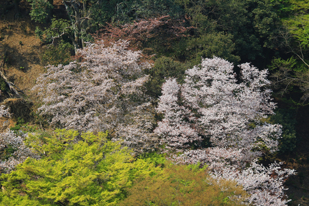 Cherry Blossom at Arashiyama hills, Kyoto, Japan photo
