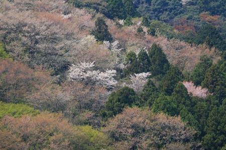 Cherry Blossom at Arashiyama in Kyoto, Japan photo