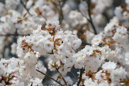 ninnaji: Cherry Blossom at ninna-ji temple kyoto