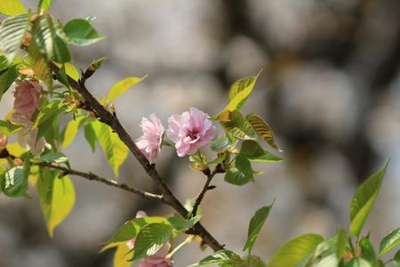 Cherry Blossom at kyoto photo