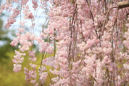 sakura arbol: �rboles Sakura flores de color rosa