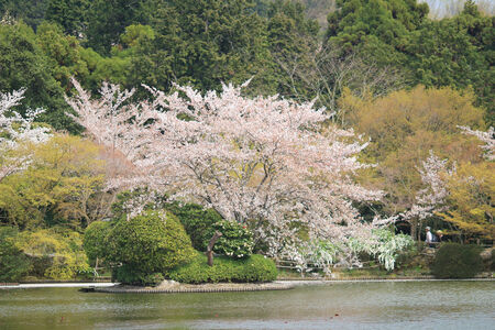 Cherry Blossom at Ryoanji Temple garden photo