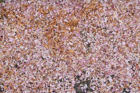 Sakura flower petals in a lake