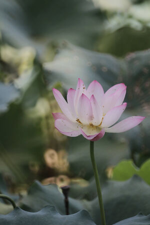 hydrophyte: Lotus flower Stock Photo
