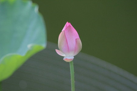Lotus head photo