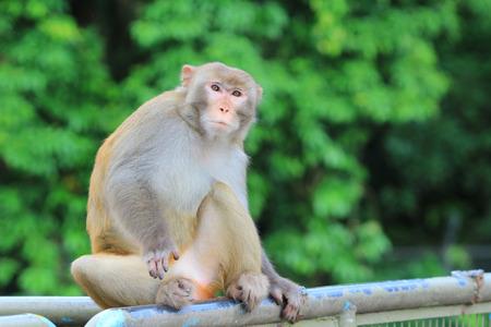 Monkey at Kowloon Reservoir Stock Photo
