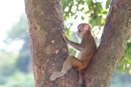 Wild monkey rested on tree top in Hong Kong Stock Photo