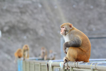 A monkey in Kam Shan Country Park, hk
