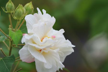 rosemallow: mutabilis Stock Photo