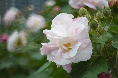 osier: Hibiscus mutabilis