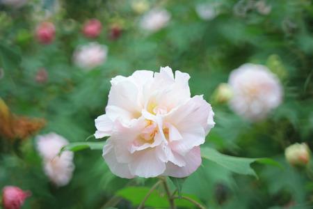 rosemallow: Hibiscus mutabilis