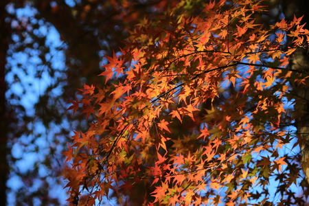red japanese maple Stock Photo