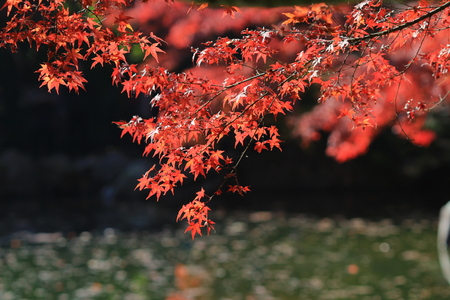 acer palmatum: Red and yellow leaves of the japanese maple, acer palmatum, in autumn