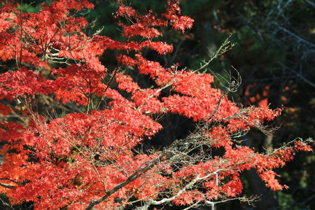 palmatum: Red and yellow leaves of the japanese maple, acer palmatum, in autumn