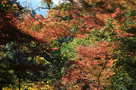 miracle tree: Colorful maple leaf background in autumn, Osaka Japan