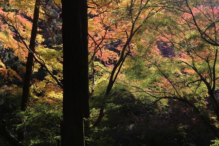 miracle leaf: Colorful maple leaf background in autumn, Osaka Japan