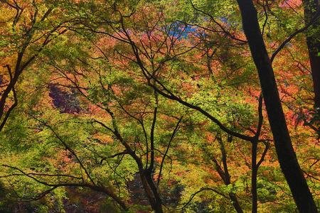 japanese maples: Minoh in autumn, Osaka, Japan
