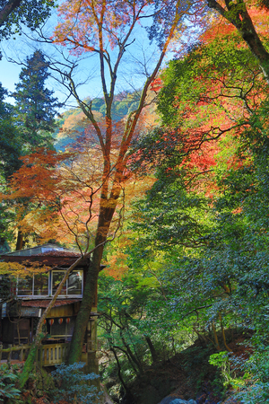 miracle leaf: Minoh in autumn, Osaka, Japan