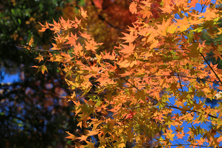 miracle leaf: fall season in japan Stock Photo
