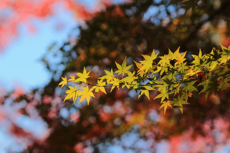 beech tree in autumn photo