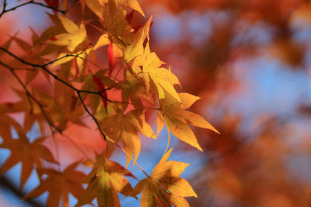 red oak tree: japanese red maple tree background during fall season, Kyoto, Japan Stock Photo