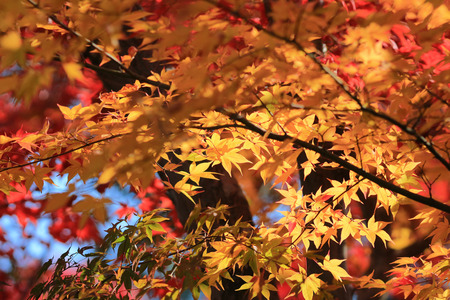 beautiful maple leaves photo