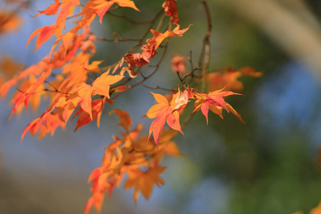 red maple leave at japan photo