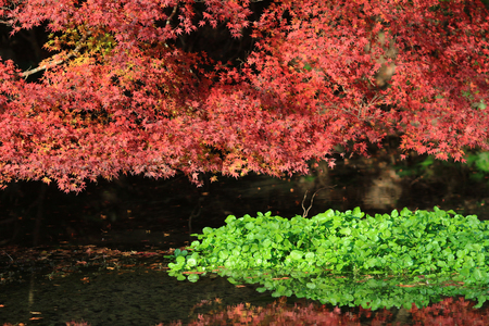Autumn leaves in Kyoto photo