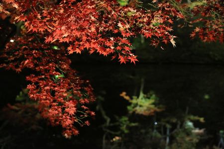 miracle leaf: Nikko, Japan at Shoyo-en garden in the autumn.