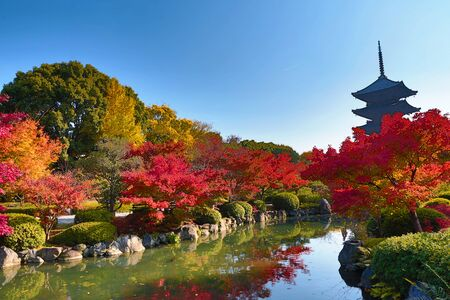 tourist attraction: To-ji Pagoda in Kyoto, Japan during the fall season.