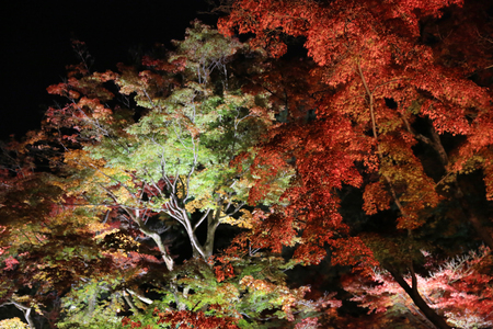 miracle leaf: night Japanese red maple tree background