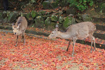 conservation grazing: deer at nara park
