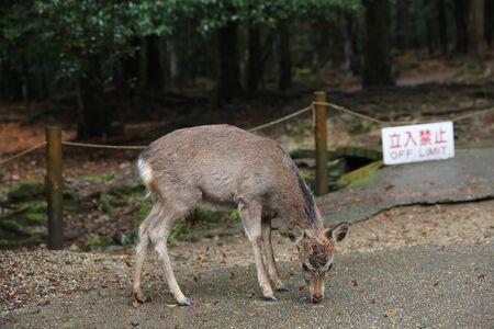 nara: deer at Nara, Japan Stock Photo
