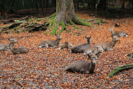 nara park: Holy Japanese deer in Nara national park in Autumn