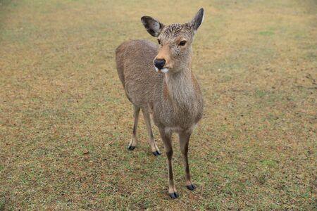 nara: deer at nara park