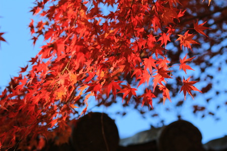 on leave: red maple leave at japan