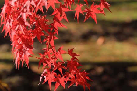 slight: Beautiful red japanese maple leaves at fall Stock Photo