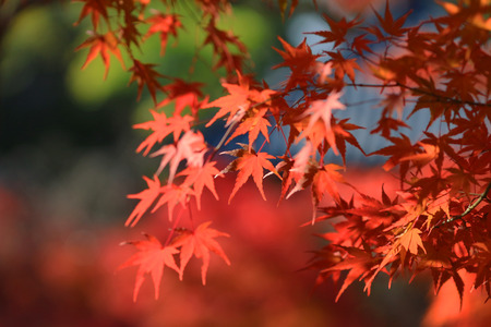 fall season in japan with temple Stock Photo