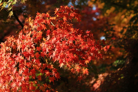 slight: japanese red maple tree background with sunlight, Kyoto