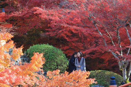 momiji: Japanese maple colored leaves Stock Photo