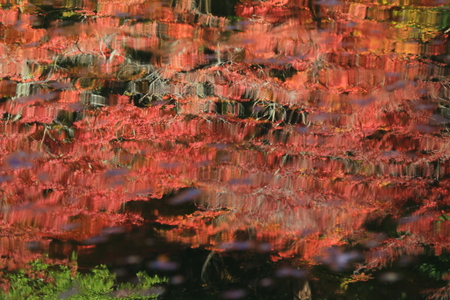 momiji: Autumn red maple leaves background