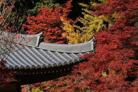 Japanese Maple leaves in autumn with roof of Japanese temple as background, Kyoto, Japan. photo