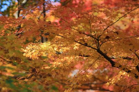 slight: Autumn red maple leaves background